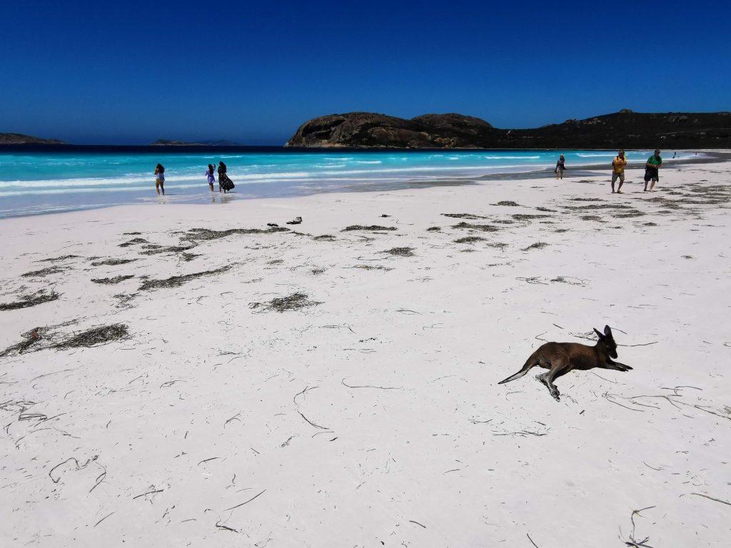 Kangaroo at Lucky Bay