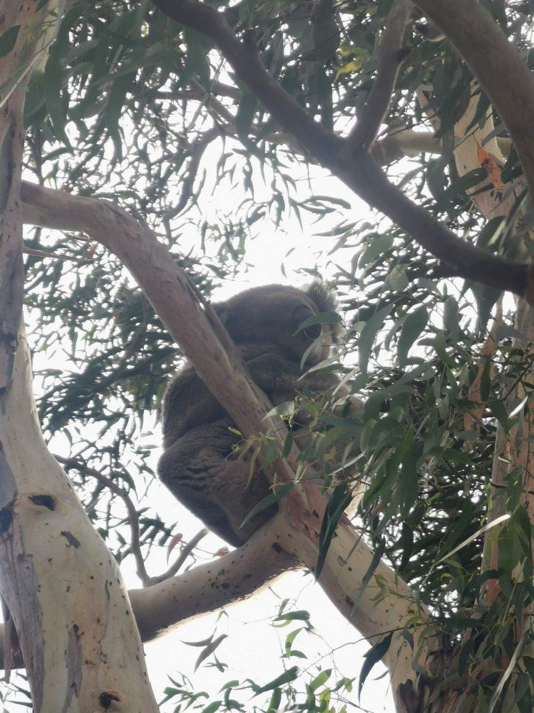 Koala at the Great Ocean Road