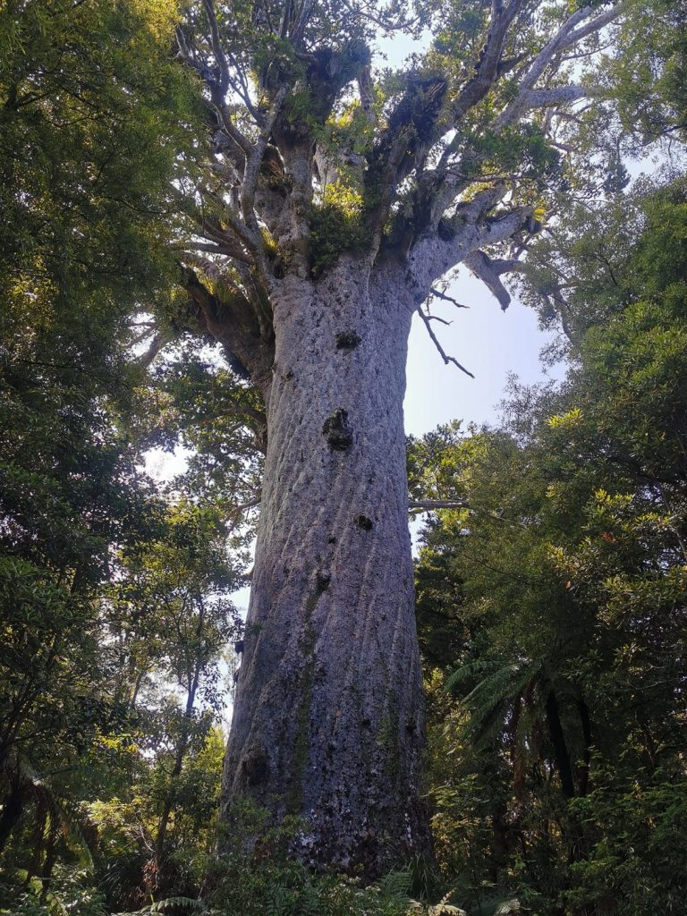 2000 Year old Kauri Tree at Waipou Forest