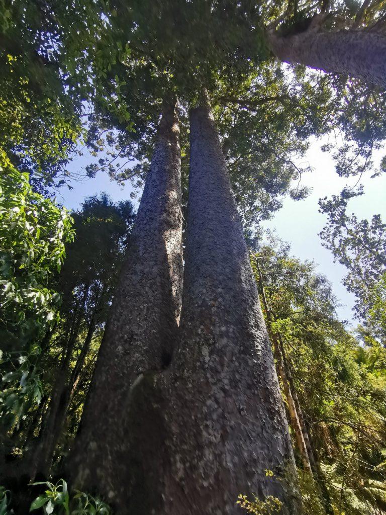 Twin Kauri Trees