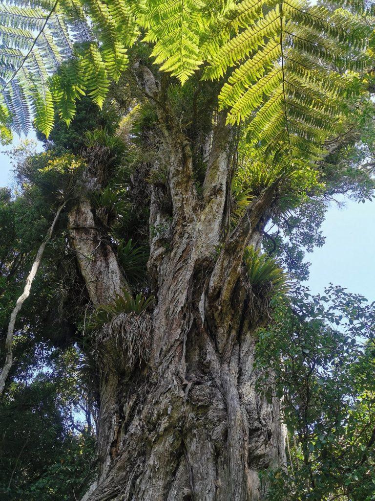 Beautiful Kauri Tree